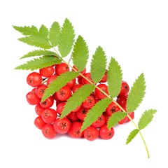 Red Rowan (Mountain-Ash) Berries with Leaves Isolated on White