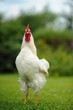 White Rooster (Cockerel)