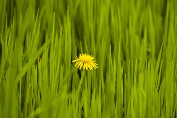 Одинокий одуванчик в весенней траве