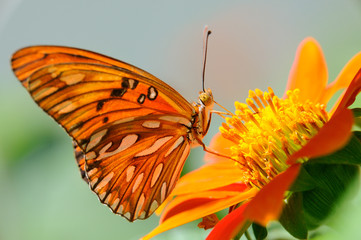Farfalla - (Agraulis vanillae)