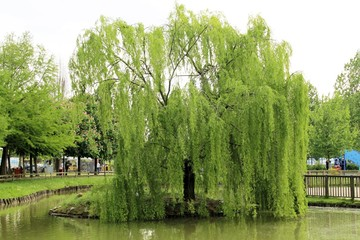 weeping willow on a small island in the pond