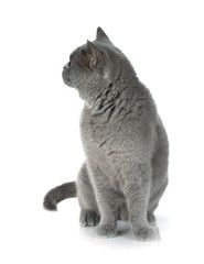 Grey cat looking backward