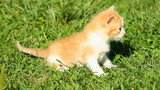 Meowing Kitten on the green grass poster