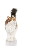 Fluffy cat  standing isolated on white - 64685086