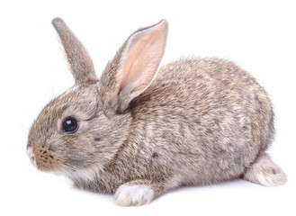 gray bunny sitting isolated on white background Easter holiday