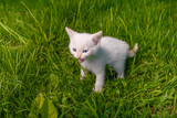 white small kitten opened his mouth showing teeth meows on green poster