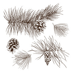 Pine branches design element