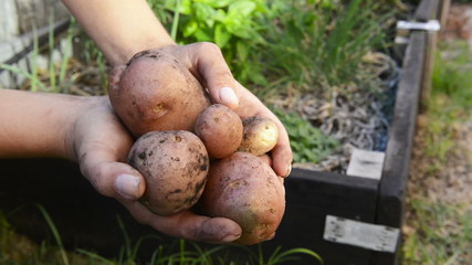 Freshly harvested organic potatoes held in a woman's hands