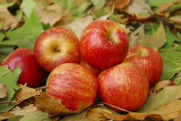 Apples in Automn