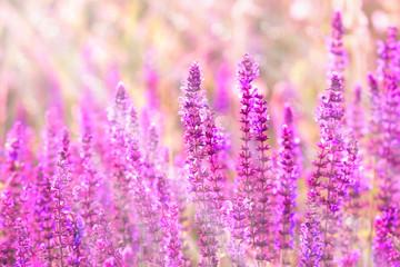 Purple meadow flowers illuminated with morning sun rays