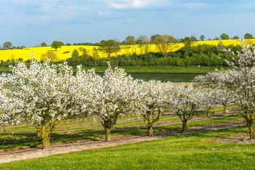 Frühlingslandschaft mit Raps- und Kirschblüte - 1594