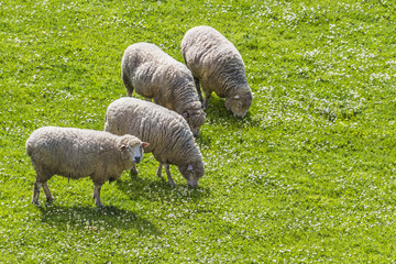 Sheeps grazing while one looks 2