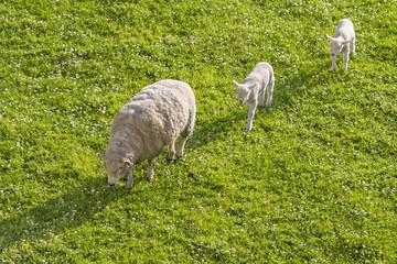 Mom sheep guiding lambs