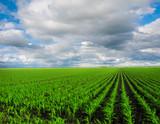 Fototapety Green corn field