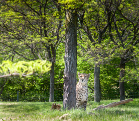 Cheetah (Acinonyx jubatus) in a forest