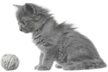 Small gray long haired kitten sitting isolated.