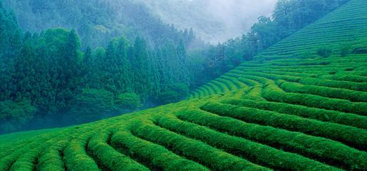 푸르른 차밭