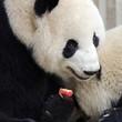 Sub adult Giant Panda eating an apple. Chengdu, China