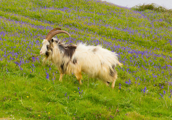 Goat in bluebell field