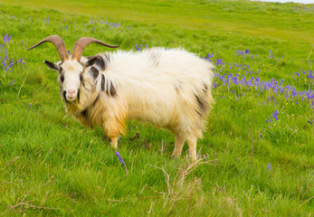 British Primitive goat breed in bluebell field