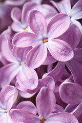 Floral background of blooming flowers purple lilac macro