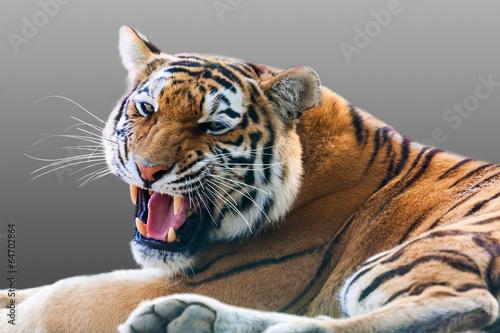 Zdjęcia na płótnie, fototapety na wymiar, obrazy na ścianę : growling tiger