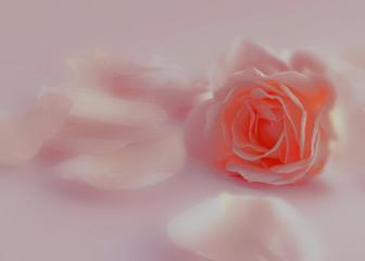 rosarote Rose und Rosenblätter, verträumt
