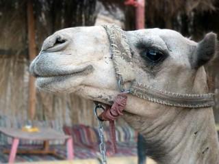 Kamel in Wüste