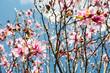 Sunny Japanese Magnolias