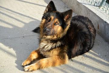 mirada de perro labrador