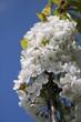 Schlehdornblüten unter blauem Himmel
