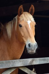 Portrait of chesnut horse