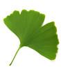 Leinwanddruck Bild - green ginkgo biloba isolated on white background
