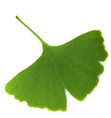 green ginkgo biloba isolated on white background