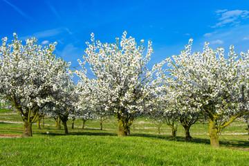 Kirschblüte 1603