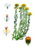 Flowers and leaves of Helichrysum. Botany poster