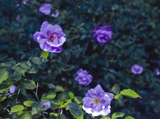 Purple Roses Garden