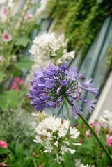 Flowering Agapanthaceae