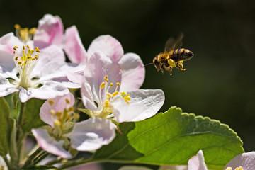 Biene im Anflug auf Apfelblüte, bee in flight