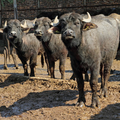 Bufala mediterranea italiana  type of water buffalo