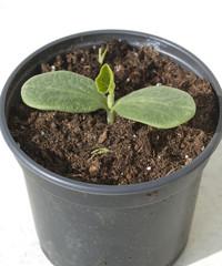 Kuerbispflanze