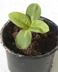 Sonnenblumenpflanze