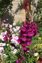 antirrhinum, snapdragon, dragon flower