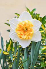White narcissus gentle giant