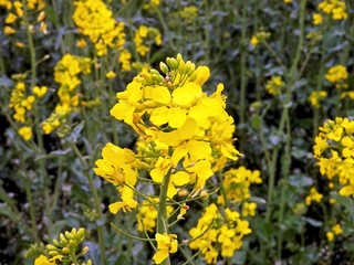 Crop oilseed rape flower