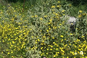Phlomis lanata and Mediterranean wild flower
