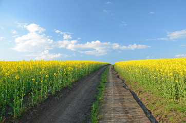 Road to heaven in the midst of rape field