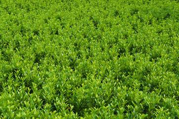 Green laurel bushes in a field