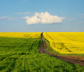 Road in the middle of rape field on a sunny day