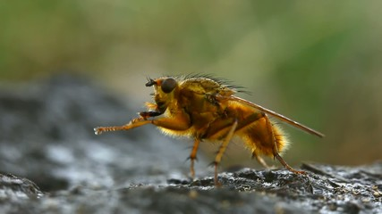 Yellow dung fly cleaning himself